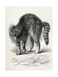 Cat Terrified by a Dog, from Charles Darwin's 'The Expression of the Emotions in Man and… Giclee Print by Thomas W. Wood