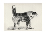Half Bred Shepherd Dog with Hostile Intentions, from Charles Darwin's 'The Expression of the… Giclee Print by  Mr. A. May
