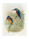 Alcedo Ispida, Plate from 'The Birds of Great Britain' by John Gould, Published 1862-73 Giclee Print by  William Hart and John Gould