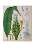 Curcuma Longa (Turmeric) from 'Kohler's Medicinal Plants' by Franz Eugen Kohler Giclee Print by German School