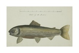 Sketch of a Fish, to Scale, C.1829-33 Giclee Print by Sir John Ross