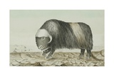 Musk-Ox, C.1829-33 Giclee Print by Sir John Ross