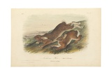 Northern Hare (Old and Young), Illustration from 'The Viviparous Quadrupeds of North America',… Giclee Print by John James Audubon