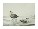 King and Eider Ducks Giclee Print by Edward Adams
