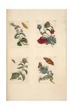 Plate from 'De Eoropische Insecten, 1730 Giclee Print by Maria Sibylla Graff Merian