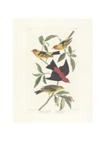Louisiana Tanager, Scarlet Tanager, Illustration from 'The Birds of America', Engraved, Printed… Giclee Print by John James Audubon