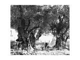 Interior of Latin Garden of Gethsemane from the North East, 1854 Giclee Print by Mendel John Diness