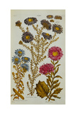 Aster, 1759-73 Giclee Print by John Hill