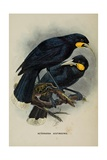 Huia, from 'A History of the Birds of New Zealand' by Walter Lawry Buller, 1873 Giclee Print by Johan Gerard Keulemans