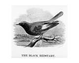 The Black Redstart, Illustration from 'A History of British Birds' by William Yarrell, First… Giclee Print by William Yarrell