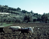 Flock of Sheep and Goats on the Mount of Olives, Jerusalem Photographic Print
