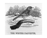 The Winter Fauvette, Illustration from 'The History of British Birds' by Thomas Bewick, First… Giclee Print by Thomas Bewick