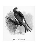 The Martin, Illustration from 'A History of British Birds' by William Yarrell, First Published 1843 Giclee Print by William Yarrell