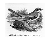 Great Ash-Coloured Shrike, Illustration from 'The History of British Birds' by Thomas Bewick,… Giclee Print by Thomas Bewick