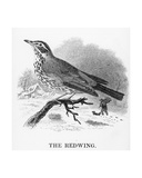 The Redwing, Illustration from 'A History of British Birds' by William Yarrell, First Published… Giclee Print by William Yarrell