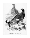 The Black Grouse, Illustration from 'A History of British Birds' by William Yarrell, First… Giclee Print by William Yarrell
