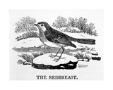 The Redbreast, Illustration from 'The History of British Birds' by Thomas Bewick, First Published… Giclee Print by Thomas Bewick