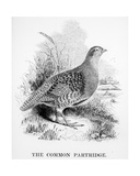 The Common Partridge, Illustration from 'A History of British Birds' by William Yarrell, First… Giclee Print by William Yarrell