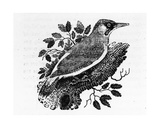 The Green Woodpecker, Illustration from 'A History of British Birds' by Thomas Bewick, First… Giclee Print by Thomas Bewick