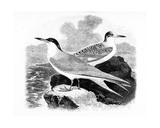 The Common Tern, Illustration from 'A History of British Birds' by William Yarrell, First… Giclee Print by William Yarrell