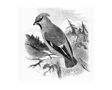 The Bohemian Waxwing, Illustration from 'A History of British Birds' by William Yarrell, First… Giclee Print by William Yarrell