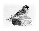 The House Sparrow, Illustration from 'A History of British Birds', by Thomas Bewick, First… Giclee Print by Thomas Bewick