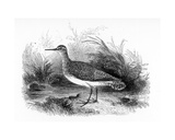 The Common Sandpiper, Illustration from 'A History of British Birds' by William Yarrell, First… Giclee Print by William Yarrell