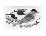 The Black-Cap, Illustration from 'A History of British Birds' by Thomas Bewick, First Published… Giclee Print by Thomas Bewick