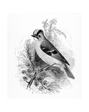 Golden Crested Regulus, Illustration from 'A History of British Birds' by William Yarrell, First… Giclee Print by William Yarrell