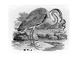 Heron, Illustration from 'A History of British Birds' by Thomas Bewick, First Published 1797 Giclée-tryk af Thomas Bewick
