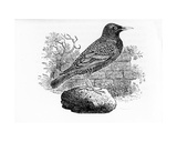 The Starling, Illustration from 'The History of British Birds' by Thomas Bewick, First Published… Giclee Print by Thomas Bewick