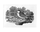 The Blue Titmouse, Illustration from 'A History of British Birds' by Thomas Bewick, First… Giclee Print by Thomas Bewick