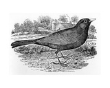 The Blackbird, Illustration from 'A History of British Birds' by Thomas Bewick, First Published… Giclee Print by Thomas Bewick