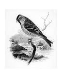 The Lesser Redpole, Illustration from 'A History of British Birds' by William Yarrell, First… Giclee Print by William Yarrell