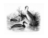 The Little Grebe, or Dabchick, Illustration from 'A History of British Birds' by William Yarrell,… Giclee Print by William Yarrell