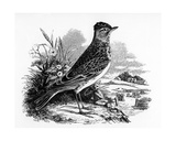 The Sky Lark, Illustration from 'A History of British Birds' by William Yarrell, First Published… Giclee Print by William Yarrell