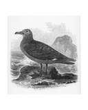 The Common Skua, Illustration from 'A History of British Birds' by William Yarrell, First… Giclee Print by William Yarrell