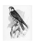 The Hobby, Illustration from 'A History of British Birds' by William Yarrell, First Published 1843 Lámina giclée por William Yarrell