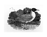 Black-Headed Gull, Illustration from 'A History of British Birds' by Thomas Bewick, First… Giclee Print by Thomas Bewick