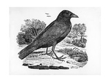 The Carrion Crow, Illustration from 'The History of British Birds' by Thomas Bewick, First… Giclee Print by Thomas Bewick