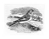 Tawny Bunting, Illustration from 'A History of British Birds' by Thomas Bewick, First Published… Giclee Print by Thomas Bewick