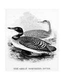 The Great Northern Diver, Illustration from 'A History of British Birds' by William Yarrell,… Giclee Print by William Yarrell