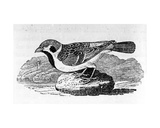 The Mountain Sparrow, Illustration from 'A History of Birds' by Thomas Bewick, First Published 1797 Giclee Print by Thomas Bewick