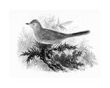 The Dartford Warbler, Illustration from 'A History of British Birds' by William Yarrell, First… Giclee Print by William Yarrell