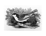 The Pied Flycatcher, Illustration from 'A History of British Birds' by Thomas Bewick, First… Giclee Print by Thomas Bewick