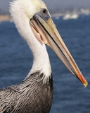 Brown Pelican at Stearns Wharf in Santa Barbara Photographic Print