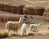 Llamas, Quebrada De Humahuaca, Argentina Photographic Print
