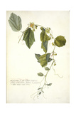 Passiflora Holosericea (Passion Flower) Giclee Print by Georg Dionysius Ehret