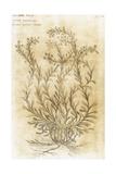 Ageratum. Seventeenth-Century Engraving in 'Bibliotheca Pharmaceutica-Medica' by J. Jacobi Mangeti Giclee Print