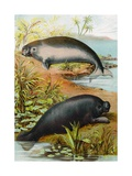Manatee and Dugong, C.1880 Giclee Print by German School